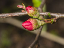 Japanese quince, Chaenomeles japonica, flower buds on branch macro, selective focus, shallow DOF.  Royalty Free Stock Photos
