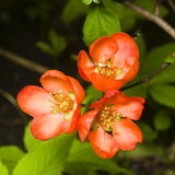 Japanese quince, Chaenomeles japonica, flowers on branch macro, selective focus, shallow DOF. Japanese quince Chaenomeles japonica flowers on branch macro Royalty Free Stock Photos