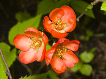 Japanese quince, Chaenomeles japonica, flowers on branch macro, selective focus, shallow DOF. Japanese quince Chaenomeles japonica flowers on branch macro Stock Photos