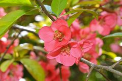 Japanese quince (Chaenomeles japonica) flowers Royalty Free Stock Photo