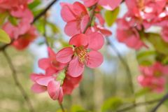 Japanese quince (Chaenomeles japonica) flowers Royalty Free Stock Photography
