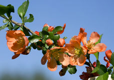 Japanese quince (chaenomeles). Stock Photo