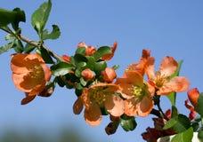 Japanese quince (chaenomeles). Stock Photo