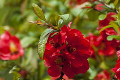 Japanese quince or Chaenomeles speciosa branch - blossoming in springtime. Sofia, Bulgaria stock image