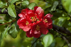 Japanese quince or Chaenomeles speciosa branch - blossoming in springtime. Sofia, Bulgaria royalty free stock photo