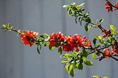 Japanese quince or Chaenomeles speciosa branch - blossoming in springtime. Sofia, Bulgaria royalty free stock photos