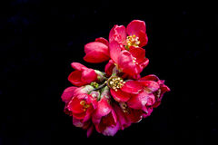 Japanese Quince Stock Photography