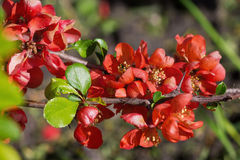 Japanese quince flowers Royalty Free Stock Image