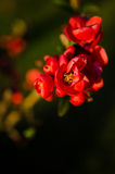 Japanese quince flowers Royalty Free Stock Photos