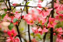 Japanese quince flowers Royalty Free Stock Photo