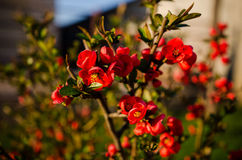 Japanese quince flowers Stock Photography