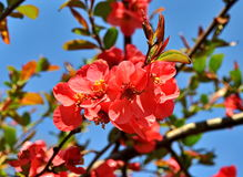Red spring flowers on a tree branch Royalty Free Stock Images