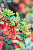 Japanese quince with orange flowers. On a green background Stock Photo