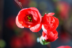 Japanese quince 2 Stock Images