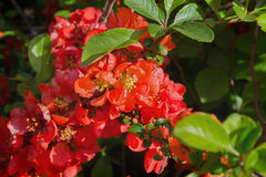 Japanese quince Royalty Free Stock Photography