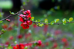Japanese Quince Red Trail Bloom Flower Blossom Royalty Free Stock Images
