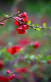 Japanese Quince Red Trail Bloom Flower Blossom Stock Photos