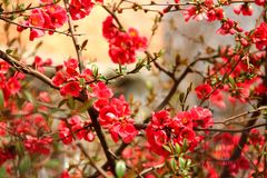 Japanese quince shrub with red flowers in spring. royalty free stock photography