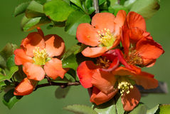 The Japanese quince. Royalty Free Stock Images