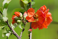 The Japanese quince. Stock Photography