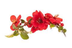 Japanese Quince Tree Royalty Free Stock Images