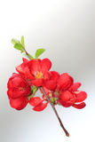 Japanese Quince Tree. On a white-grey background Royalty Free Stock Photo