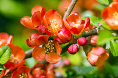 Japanese Quince tree Royalty Free Stock Photos