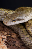 Japanese rat snake. The Japanese Rat Snake (Elaphe climacophora) is a medium sized snake found throughout the Japanese archipelago (except the far South West) stock photos