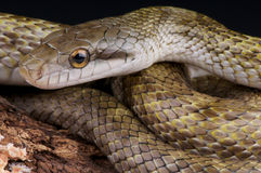 Japanese rat snake. The Japanese Rat Snake (Elaphe climacophora) is a medium sized snake found throughout the Japanese archipelago (except the far South West) royalty free stock image