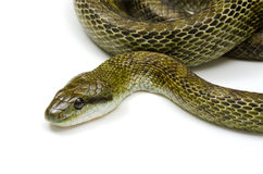 Japanese rat snake Royalty Free Stock Images