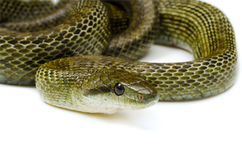Japanese rat snake Stock Photography
