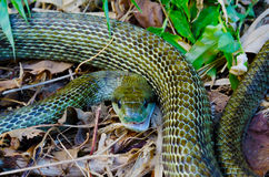 Japanese rat snake Royalty Free Stock Photography