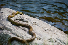 Japanese Rat Snake Bathing in the Sun-Elaphe climacophora Royalty Free Stock Photos