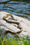 Japanese Rat Snake Bathing in the Sun-Elaphe climacophora Royalty Free Stock Image