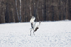 Japanese Red-Crowned Crane Stock Image