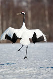 Japanese Red-Crowned Crane. Single Adult Japanese Red-Crowned Crane Dancing in Snowy Field Royalty Free Stock Images