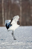 Japanese Red-Crowned Crane Royalty Free Stock Photos