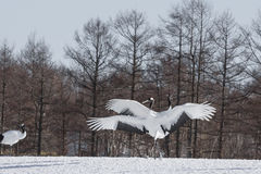 Japanese or Red-Crowned Crane Courtship Dance Stock Photography