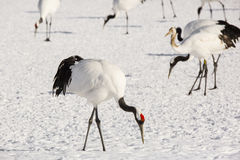 Japanese Red-Crowned Crane Foraging Royalty Free Stock Photography