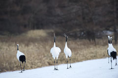 Japanese red crowned cranes, mating display Stock Photo