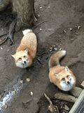 Japanese red fox. Kitsune or Japanese red fox Royalty Free Stock Photo