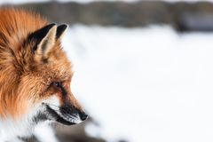 Red fox in snow. Japanese red fox relaxing in winter`s snow of January Royalty Free Stock Photos