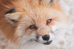Red fox in snow. Japanese red fox relaxing in winter`s snow of January Stock Photos