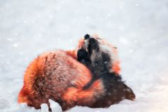 Red fox in snow. Japanese red fox relaxing in winter`s snow of January Royalty Free Stock Images