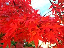 Japanese red leaf royalty free stock image