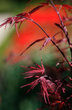 Japanese red maple Royalty Free Stock Photos