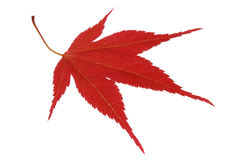 Japanese red maple Royalty Free Stock Image