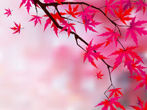 Japanese red maple (acer palmatum rubrum). Stock Photo