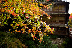 Japanese red Maple Stock Images