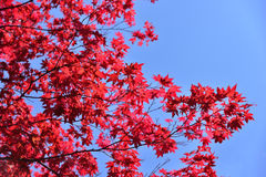 Japanese red maple leaf Stock Photo